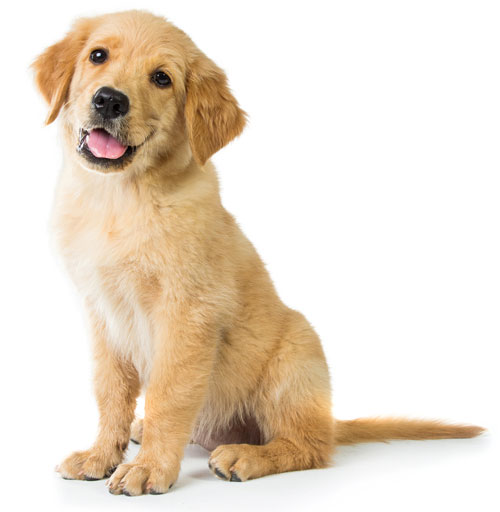 A portrait of a cute Golden Retriever dog sitting on the floor