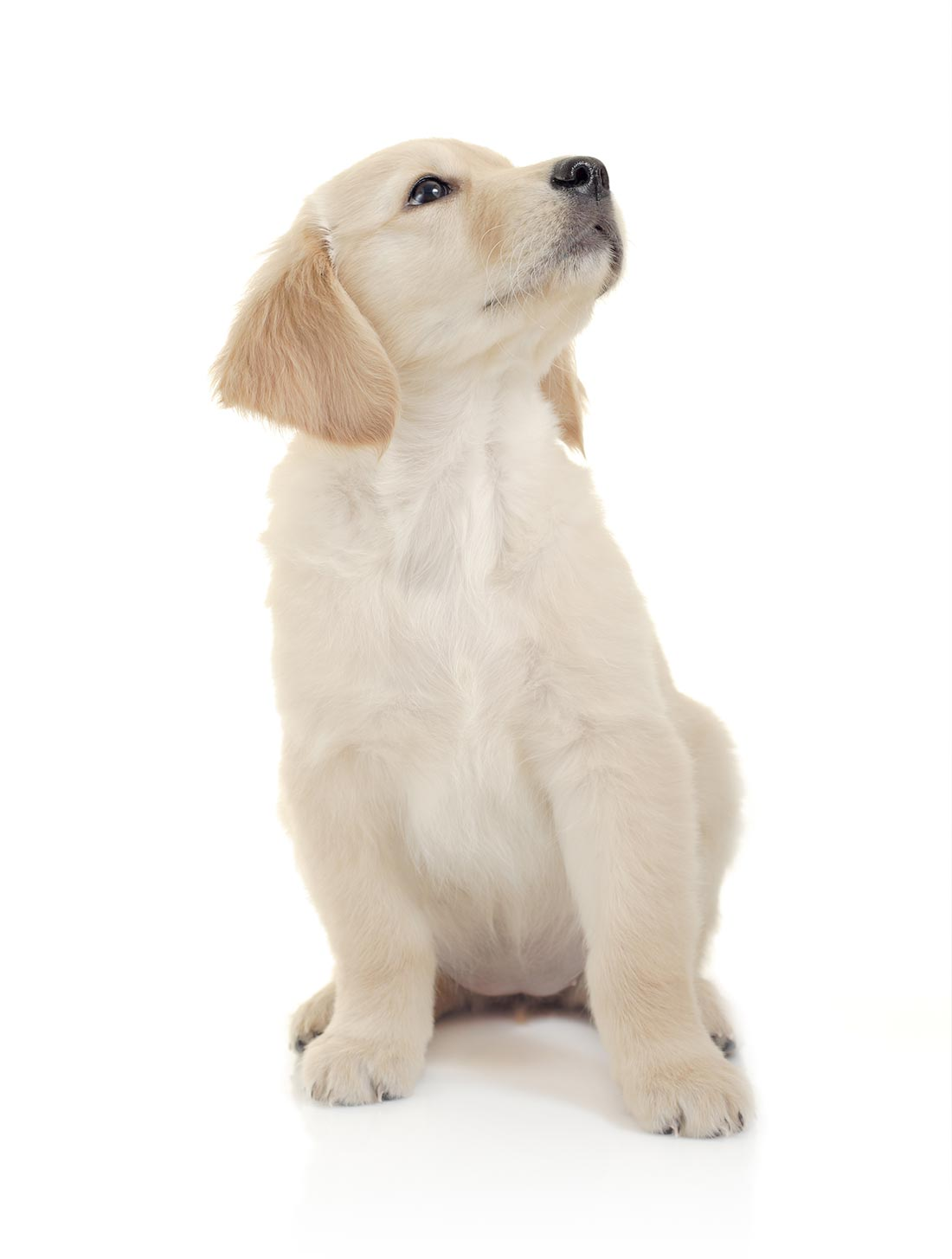 Curious puppy against white background