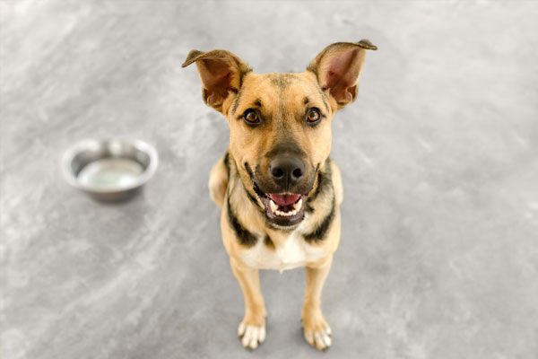 Dog bowl hungry is an adorable German Shepherd looking and waiting eagerly for his bowl to be filled with food.