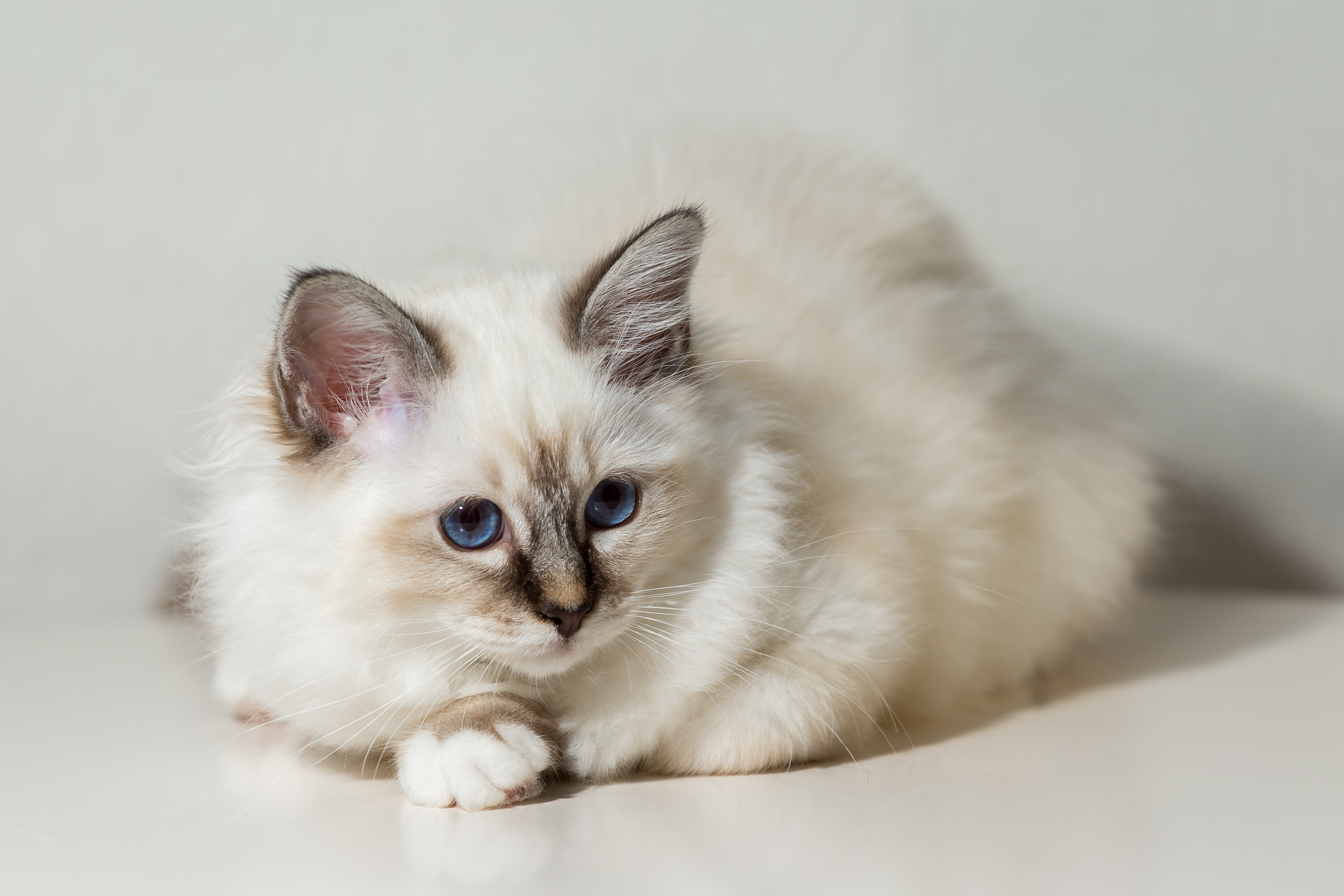 kitten cat breed sacred burma on a light background